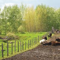 bétail et peupliers hybrides