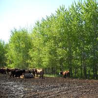 Les peupliers augmentent le stockage du carbone, de l'azote et du phosphore
