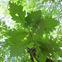 feuilles de chêne à gros fruits