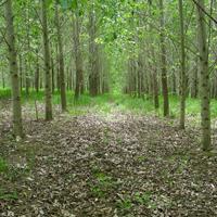 rendement des peupliers hybrides sur des terres agricoles abandonnées