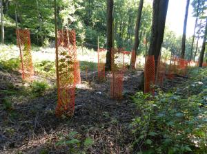 Restauration des feuillus nobles et des pins