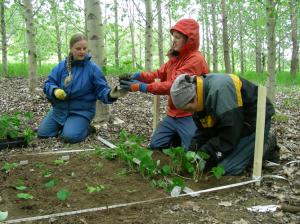 Plantations de peuplier hybride en friche agricole
